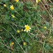 Lesser celandine a yellow, buttercup like flower against green heart shaped leaves